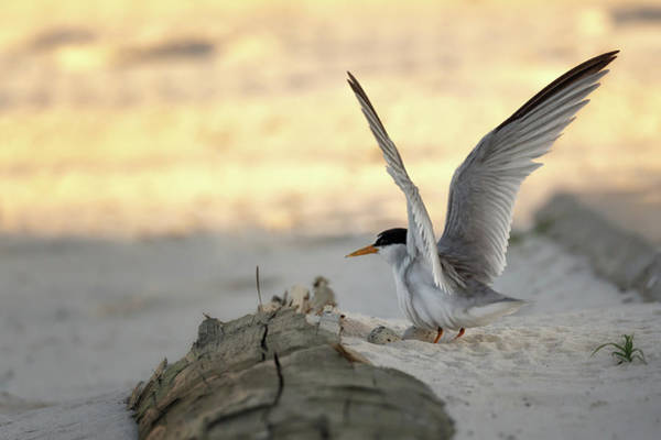 Photograph - Least Tern Landing by Susan Rissi Tregoning
