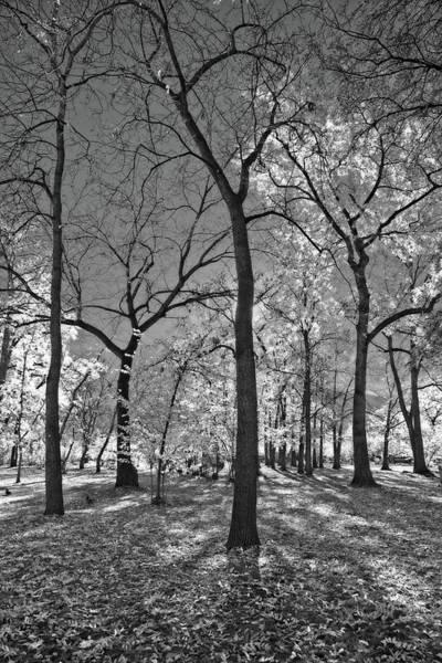 Wall Art - Photograph - Gracefully Autumn Trees Black And White by Allan Van Gasbeck
