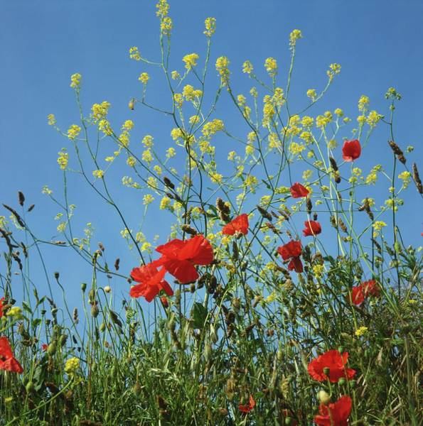 Biennial Photograph - Leaves And Red Flowers Of Poppies by Jane Miller