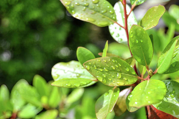 Photograph - Leaves And Water Drops by Kathy McCabe