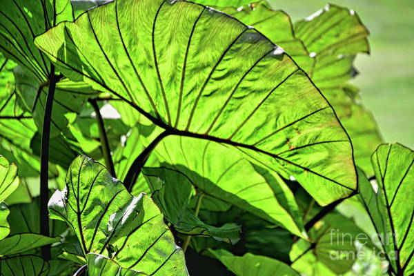 Photograph - Leaves In Light by Diana Mary Sharpton