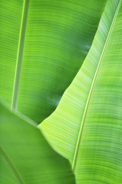 Wall Art - Photograph - Leaves Of Banana Plant by Elisabeth Schmitt
