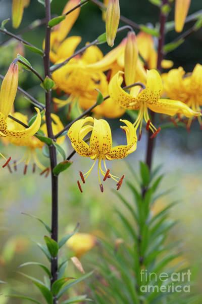 Lilium Wall Art - Photograph - Leichtlin's Lily Flower by Tim Gainey