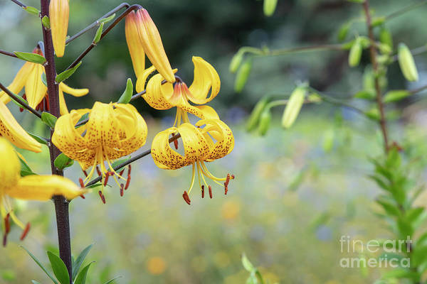 Wall Art - Photograph - Leichtlin's Lily  by Tim Gainey