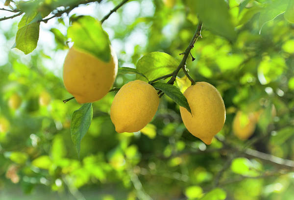 Branch Photograph - Lemon Fruits In Orchard by Brzozowska