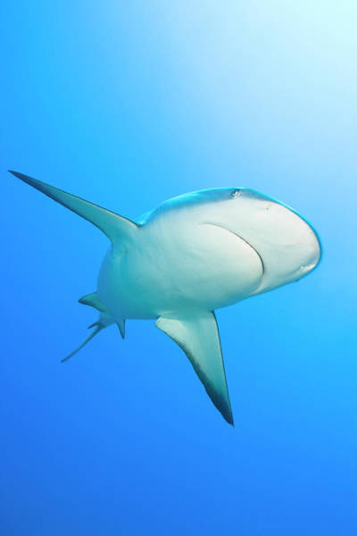 Lemon Photograph - Lemon Shark Negaprion Brevirostris by Werner Van Steen