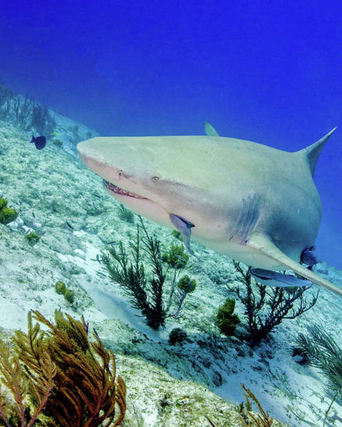 Wall Art - Photograph - Lemon Shark Swimming Over Reef, Tiger by Brent Barnes