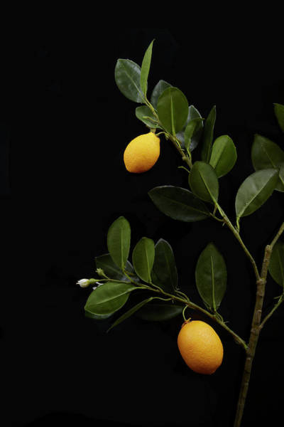 Branch Photograph - Lemons Still On Their Branch by Shana Novak