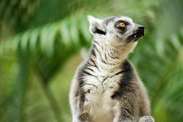Photograph - Lemur By Itself Amongst Nature. by Rob D Imagery