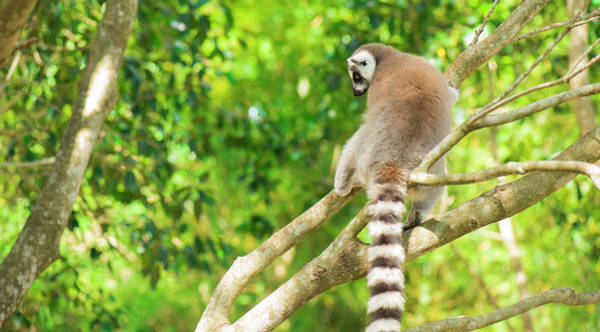 Lemur By Itself In A Tree During The Day. Art Print