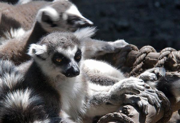 Photograph - Lemur Family by David Resnikoff
