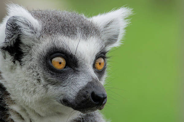 Photograph - Lemur Orange Eyes by Scott Lyons