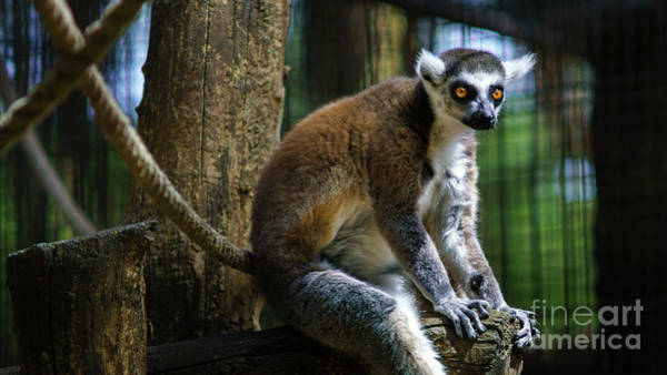 Photograph - Lemur Sitting At Branch Zoo by Pablo Avanzini