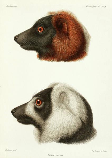 Evolution Painting - Lemur Varius by Alfred Grandidier
