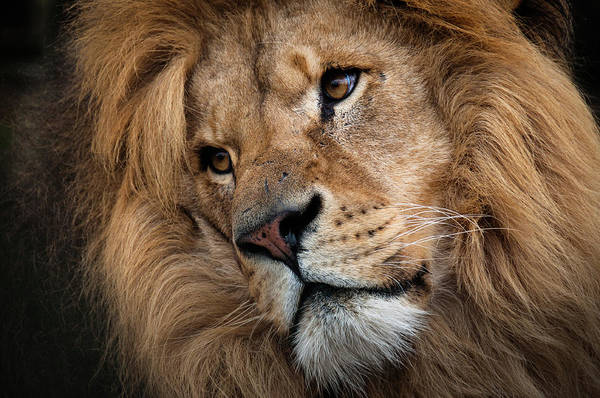 Animal Head Photograph - Leo - Male Lion Head, Angled Close-up by Ruth Bourne Lrps