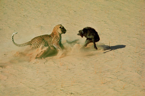 Photograph - Leopard About To Kill A Terrified Baboon by John Dominis