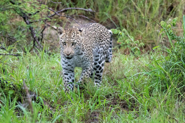 Photograph - Leopard Approaching by Mark Hunter