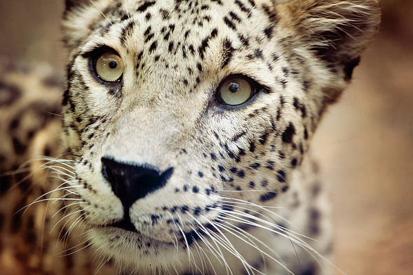 Animal Head Photograph - Leopard Head by Copyright Anna Nemoy(xaomena)