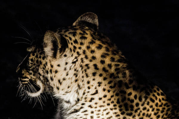 Photograph - Leopard In Darkness by Mark Hunter
