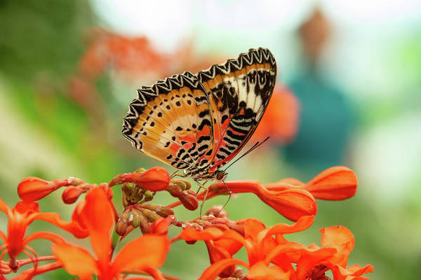 Photograph - Leopard Lacewing Butterfly by Jennifer Wick