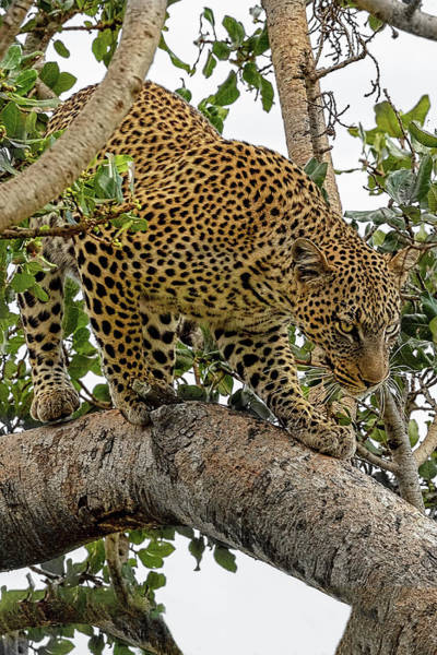 Photograph - Leopard On The Move by Kay Brewer