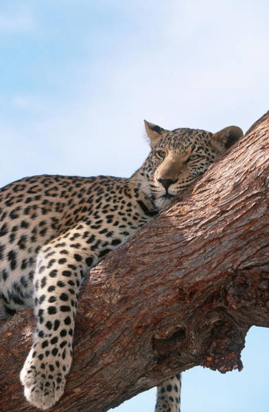 Wildlife Sanctuary Photograph - Leopard Panthera Pardus Relaxing In A by Hphimagelibrary