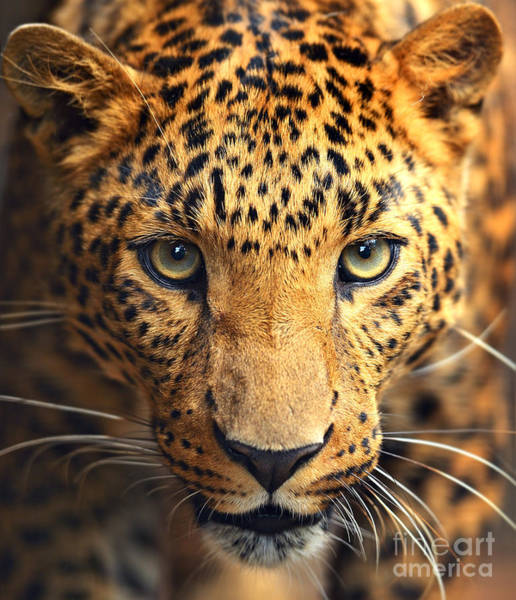 Wall Art - Photograph - Leopard Portrait by Kyslynskahal