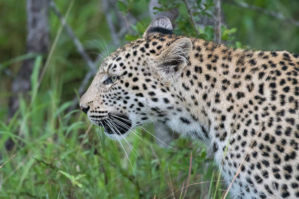 Photograph - Leopard Profile by Mark Hunter
