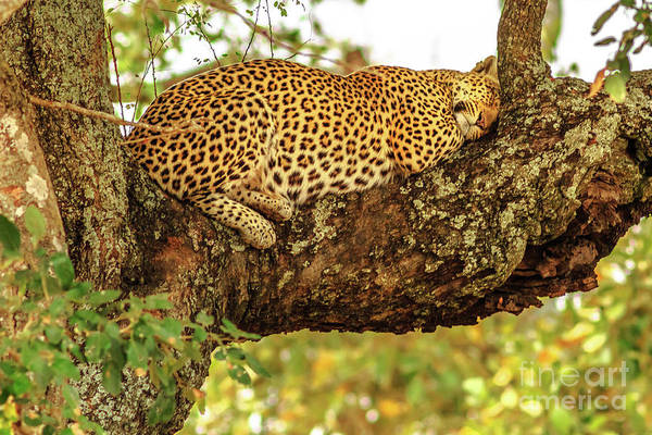 Photograph - Leopard Sleeping On Tree by Benny Marty
