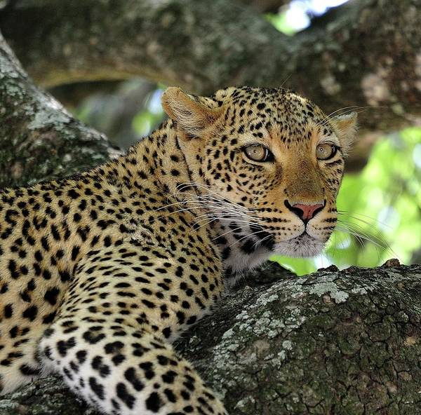 Branch Photograph - Leopard Watchful by Wild Africa Nature