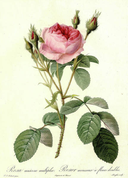 Wall Art - Painting - Les Roses, Rosa Muscosa Multiplex by Pierre-Joseph Redoute