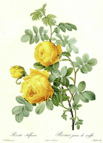 Wall Art - Painting - Les Roses, Rosa Sulfurea by Pierre-Joseph Redoute