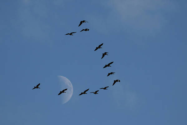 Wall Art - Photograph - Lesser Canada Geese, Migration Flight by Ken Archer