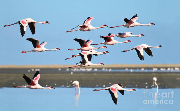 Wall Art - Photograph - Lesser Flamingo, Phoenicopterus Minor by Pictureswild