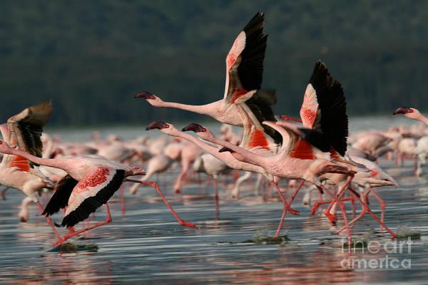 Wall Art - Photograph - Lesser Flamingos At Lake Nakuru by Steffen Foerster