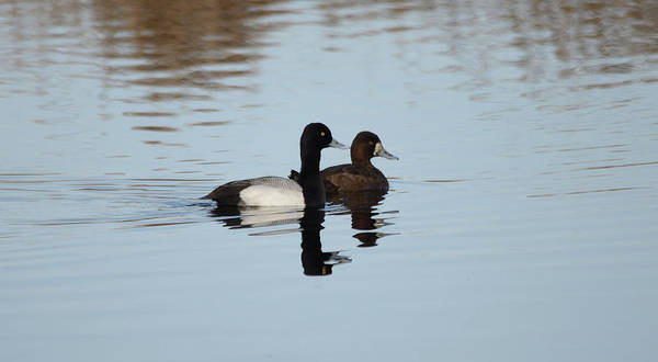 Wall Art - Photograph - Lesser Scaup - Drake And Hen by Whispering Peaks Photography