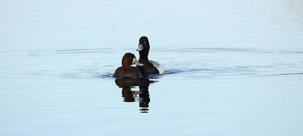 Wall Art - Photograph - Lesser Scaup Pair by Whispering Peaks Photography