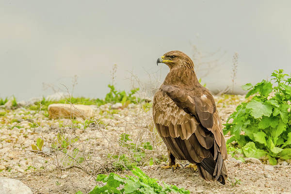Wall Art - Photograph - Lesser Spotted Eagle Hunting by Morris Finkelstein