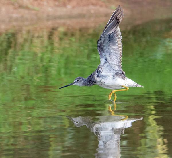 Photograph - Lesser Yellowlegs 5618-081019 by Tam Ryan