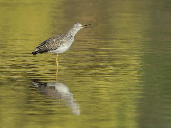 Photograph - Lesser Yellowlegs 7675-110218-1cr by Tam Ryan