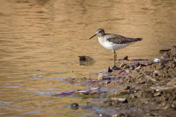 Photograph - Solitary Sandpiper Hato Berlin Casanare Colombia by Adam Rainoff