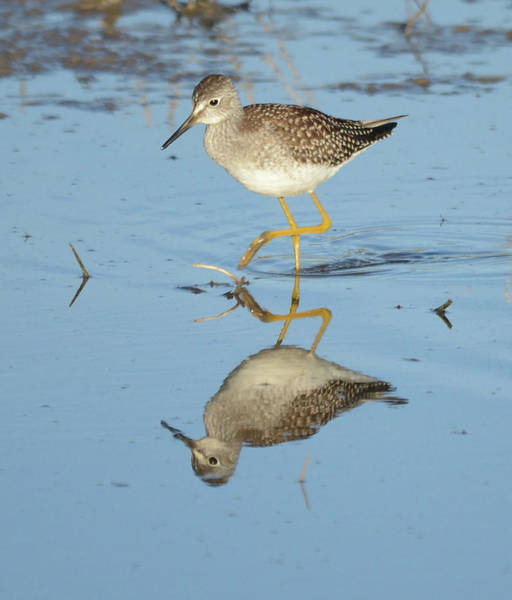 Wall Art - Photograph - Lesser Yellowlegs by Whispering Peaks Photography