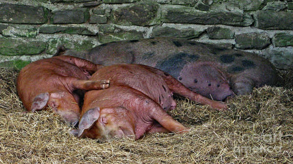 Photograph - Let Sleeping Pigs Lie by PJ Boylan