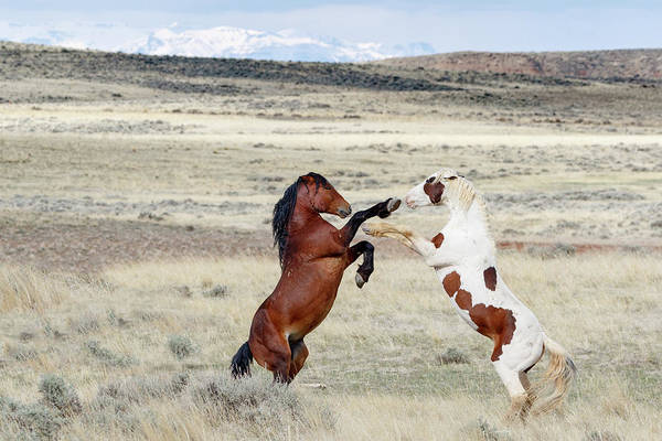 Photograph - Let's Fight by Ronnie and Frances Howard