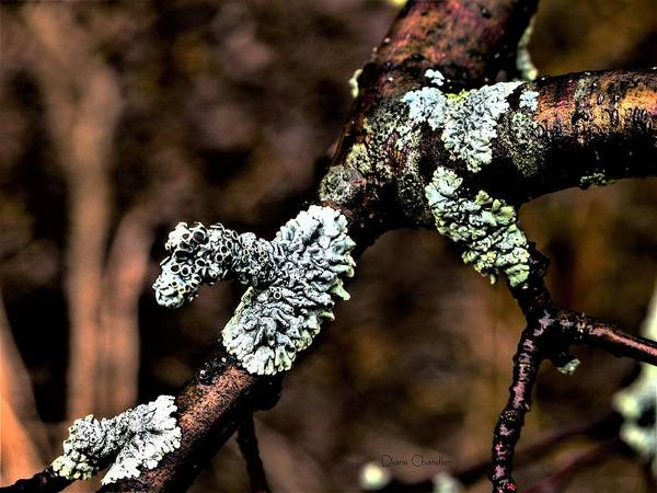 Photograph - Lichen After Rain by Diane Chandler