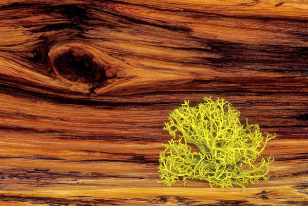 Wood Photograph - Lichen On Old Bristle Cone Pine Wood by Russell Burden