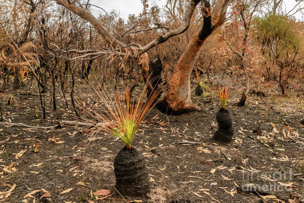 Photograph - Life After Fire 06 by Werner Padarin