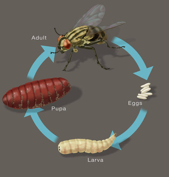 Wall Art - Photograph - Life Cycle Of A House Fly, Illustration by Monica Schroeder