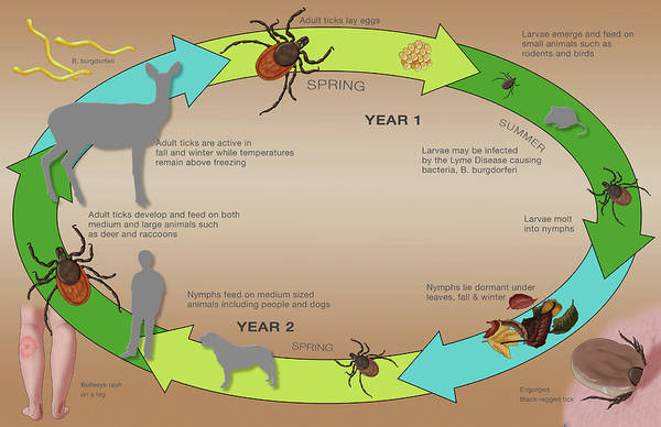 Wall Art - Photograph - Life Cycle Of The Black-legged Tick & by Monica Schroeder