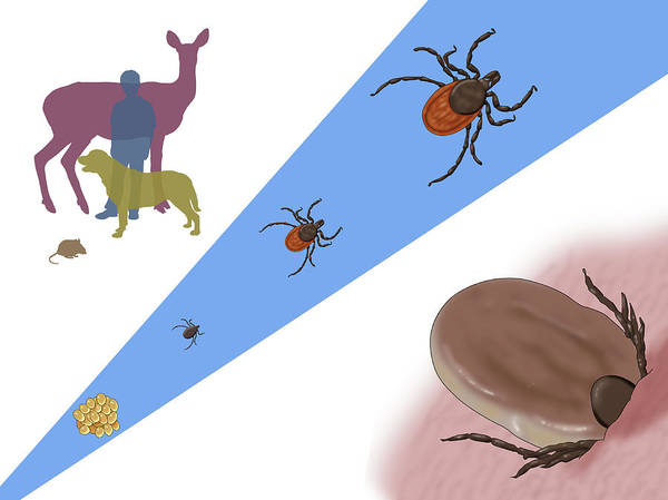 Wall Art - Photograph - Life Stages Of A Black-legged Tick by Monica Schroeder